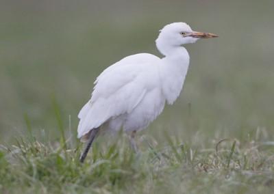 """Calle E Garcilla Bueyera """"Bubulcus ibis"""""""
