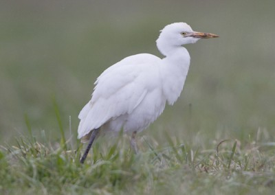 """Carrer E Esplugabous """"Bubulcus ibis"""""""