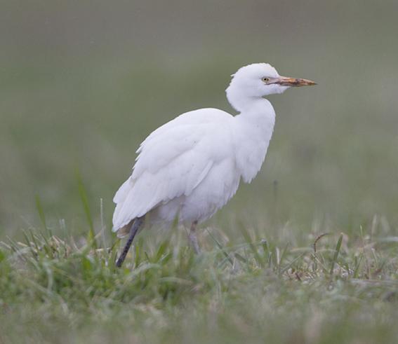 "Straße E ""Bubulcus ibis"""